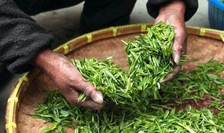 Comment acheter du thé vert japonais